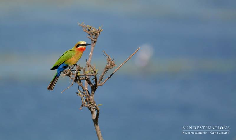 Birds of the Okavango and Linyanti in Botswana