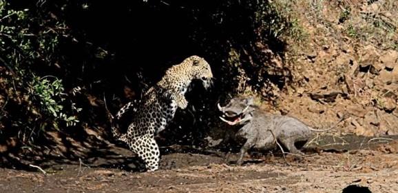 Leopard vs Warthog in Kruger
