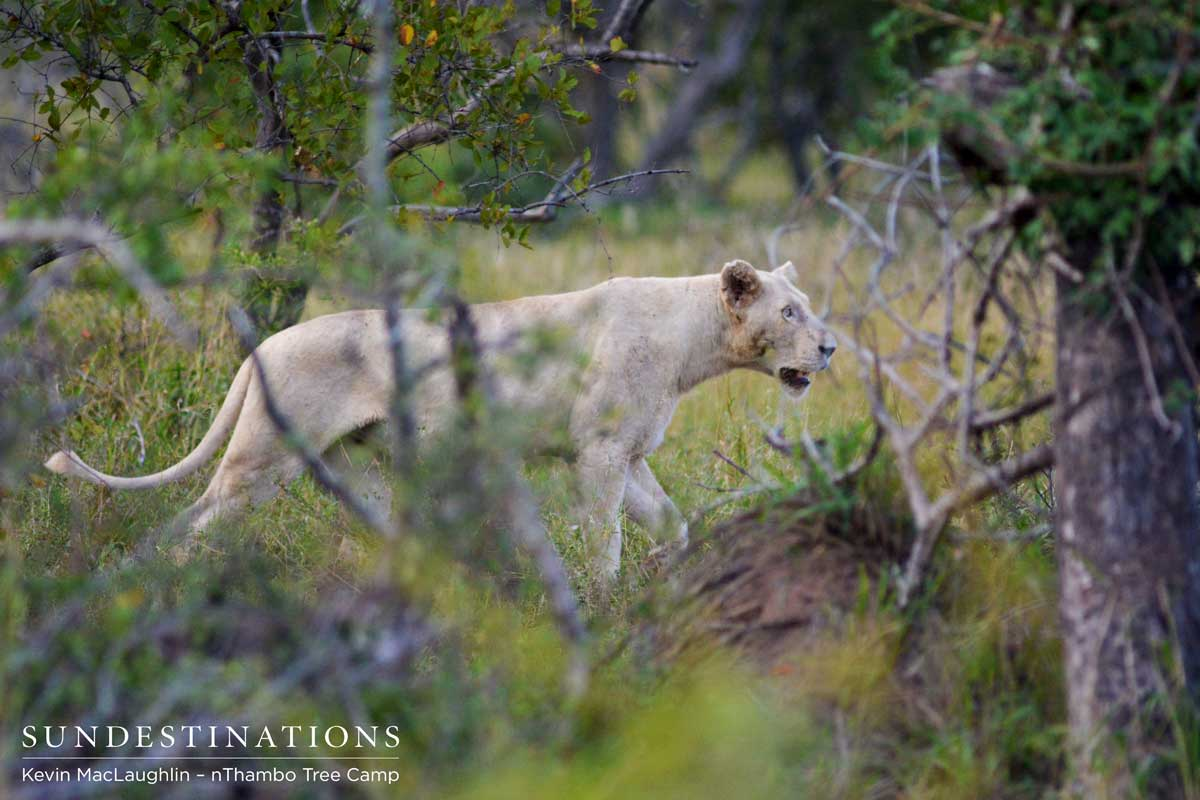 white lioness and a trilogy male mating in the klaserie