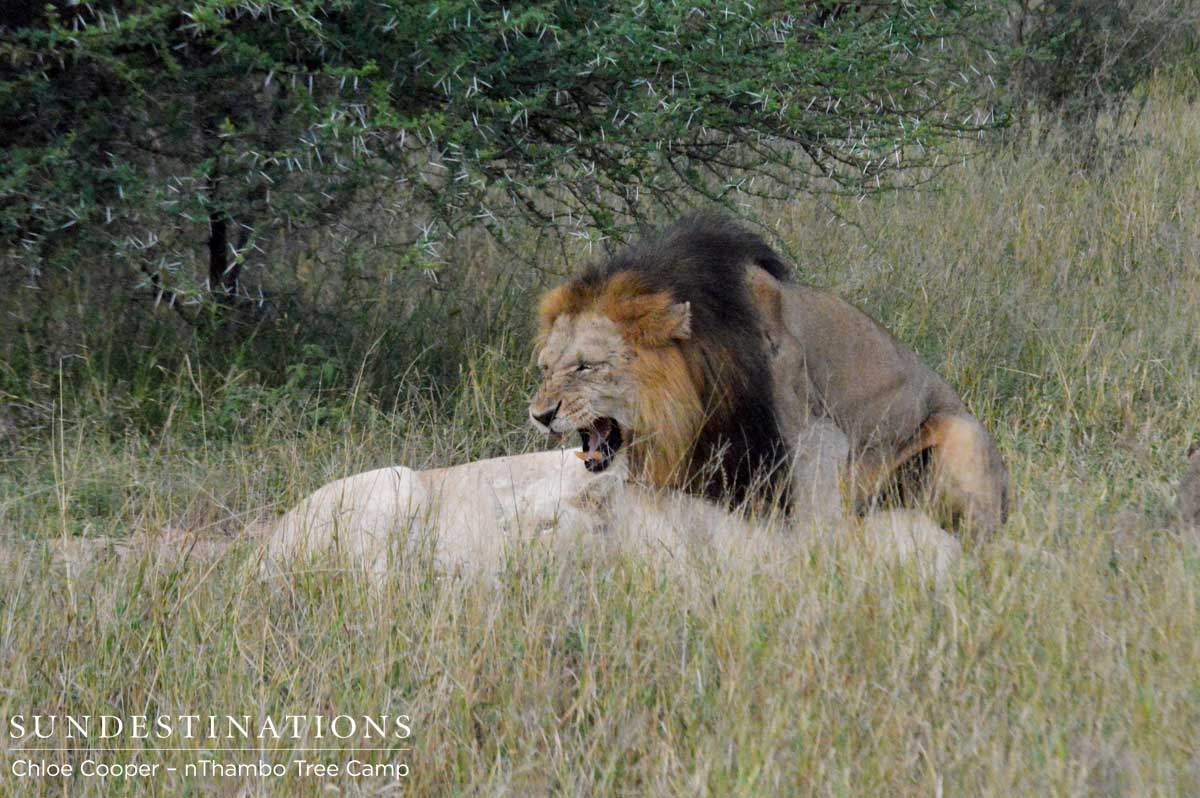 White lioness and a Trilogy Male mating in the Klaserie ...