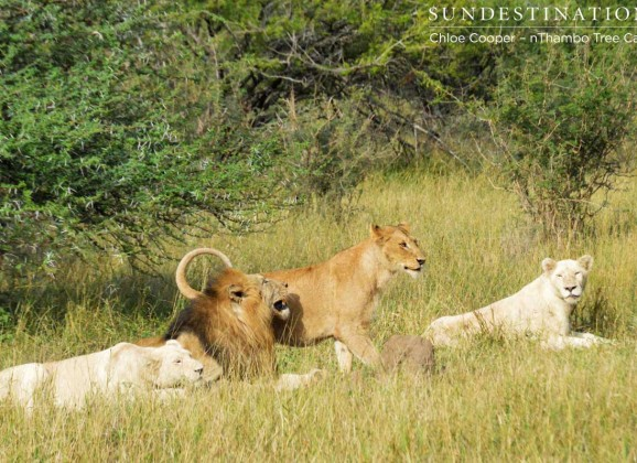 White  lioness and a Trilogy Male mating in the Klaserie!