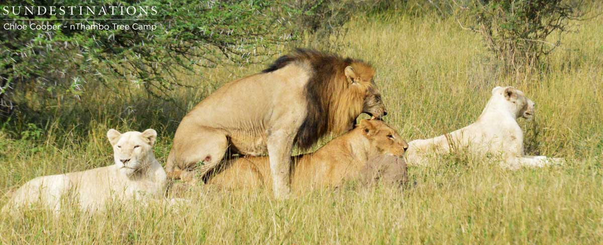 Lions in mating season