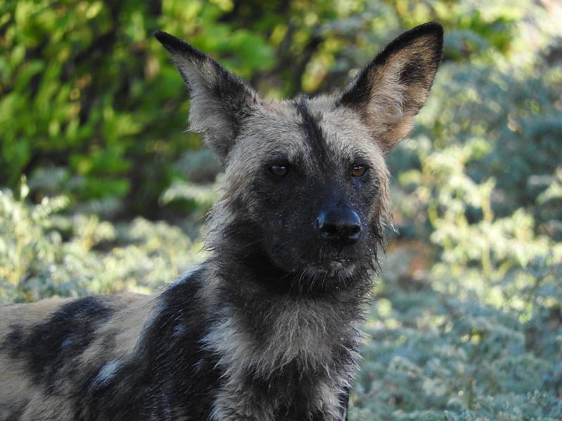 The elusive wild dog at Camp Moremi