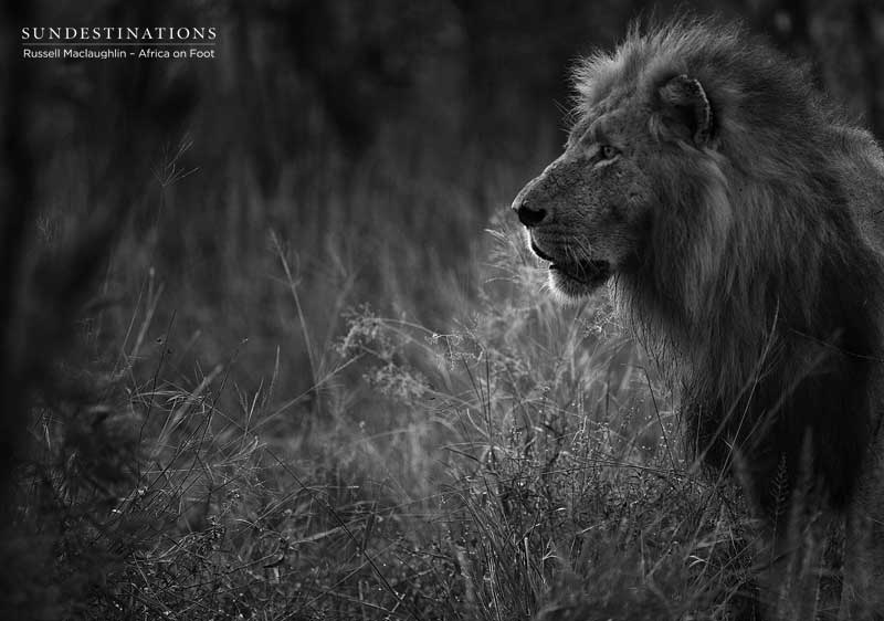 Lions at Africa on Foot