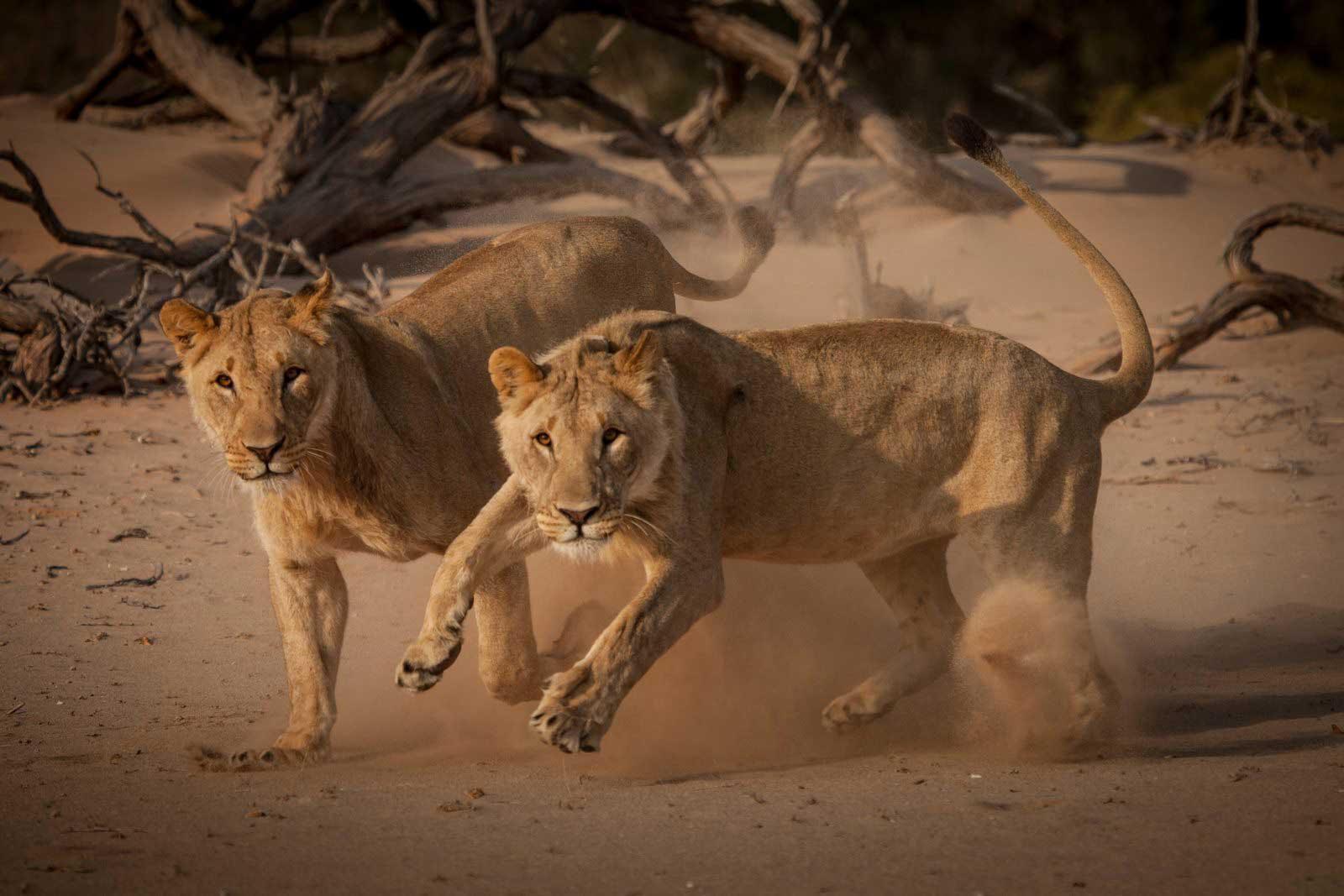 """""""Vanishing Kings"""" Lion Shot in Human-Wildlife Conflict"""