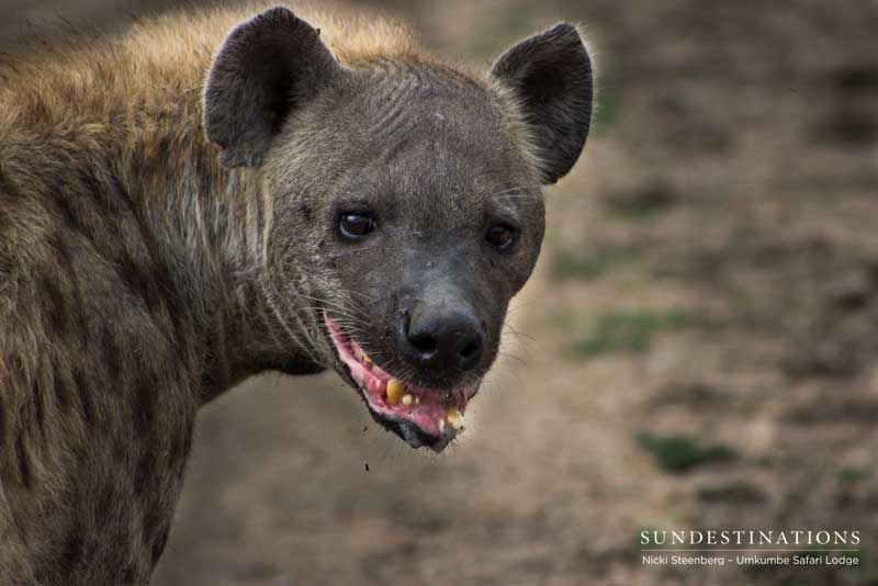 Things You Probably Didn't Know About Hyenas