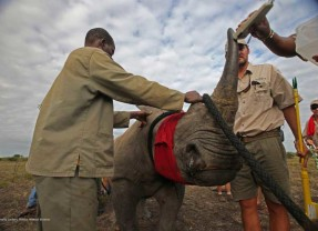 100 Rhinos Get a Second Chance in Botswana