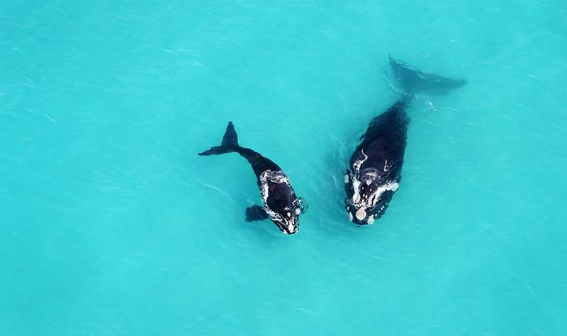 Whale and Calf Grootbos
