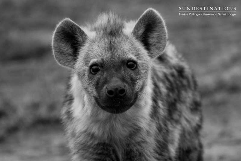Things You Probably Didn't Know About Hyenas | Sun Safaris