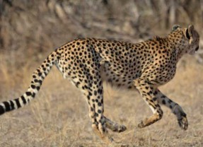 Spot the Difference: Leopards vs Cheetahs