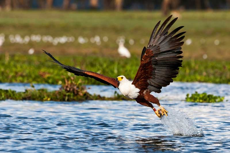 African Fish Eagle  - Iconic Images of Africa