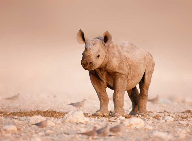 Rhino Calf  - Iconic Images of Africa