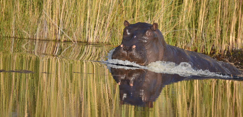 Hippo in the Delta