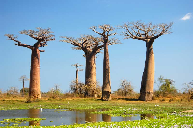 Baobabs in Africa  - Iconic Images of Africa