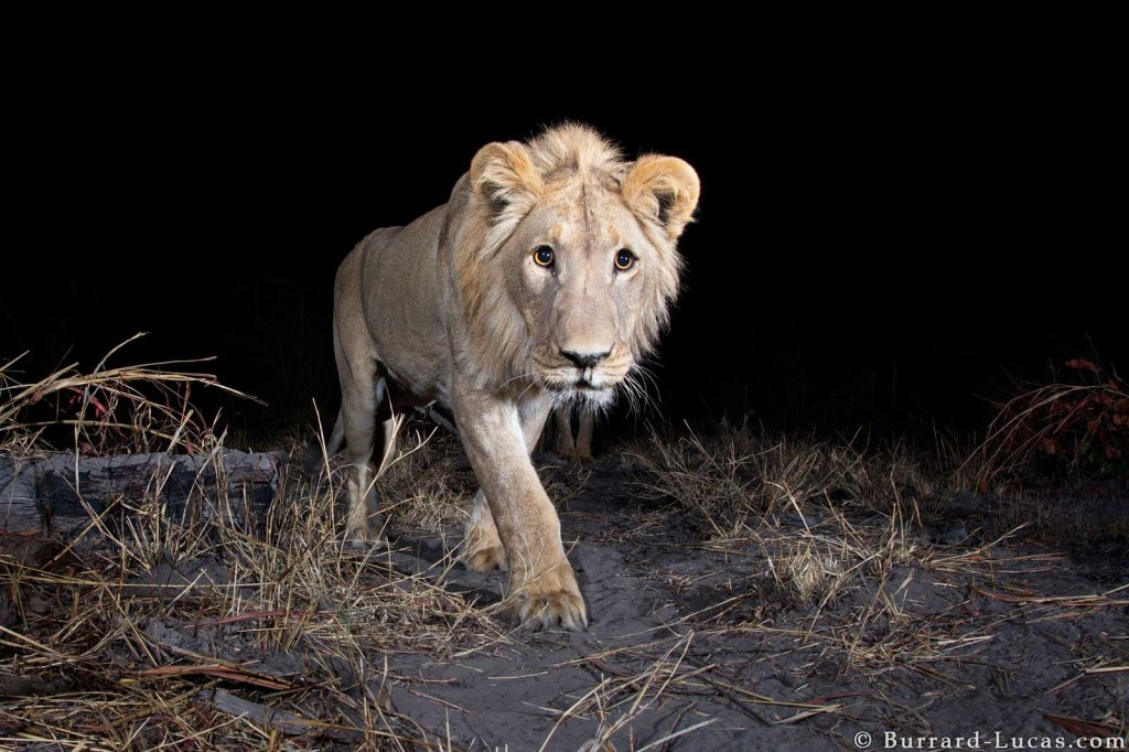 A male lion captured on Camtraptions PIR motion sensor for World Wildlife Fund in Namibia's Zambezi Region
