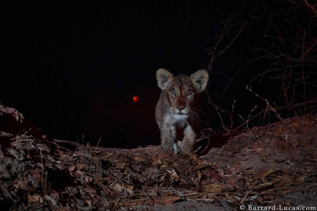 A lion cub photographed by Beetle Cam in front of the super moon eclipse