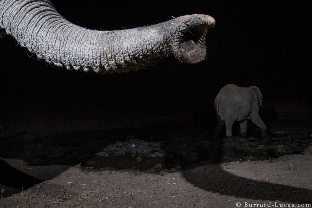 An investigative elephant trunk triggers the Camtraptions motion sensor in the Zambezi Region of Namibia for World Wildlife Fund