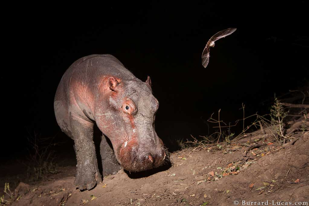 A miraculous camera trap capture of a hippo and a bat in South Luangwa National Park in Zambia