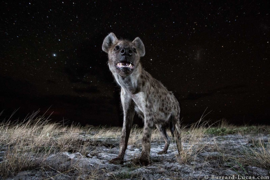 A spotted hyena under the stars, photographed by Beetle Cam in Liuwa Plain, Zambia
