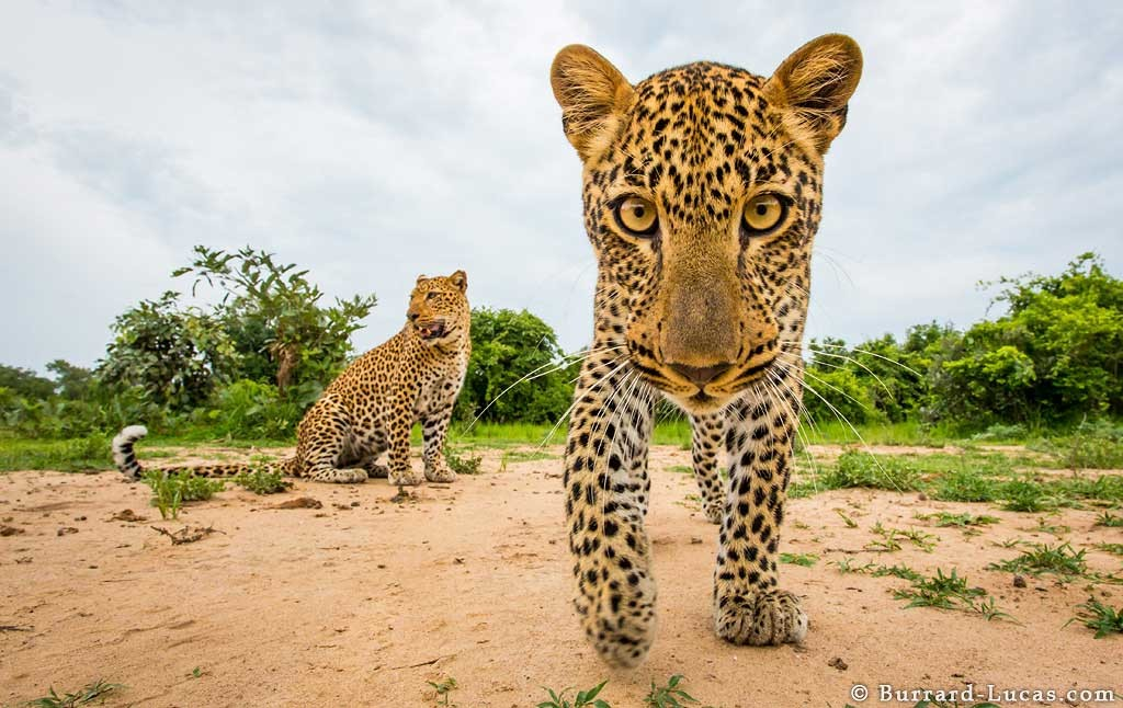 Two leopards photographed by Beetle Cam in South Luangwa, Zambia