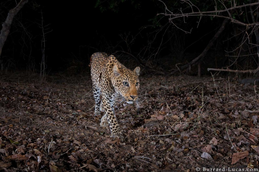 A leopard captured on camera trap at night