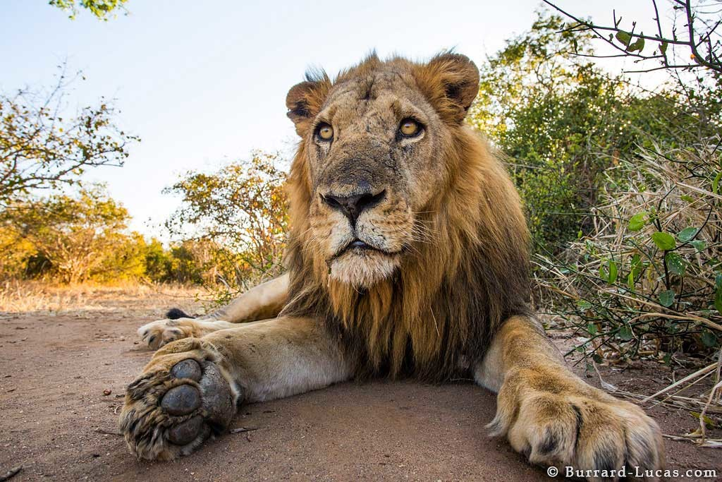 A Zambian male lion getting a close up with the Beetle Cam