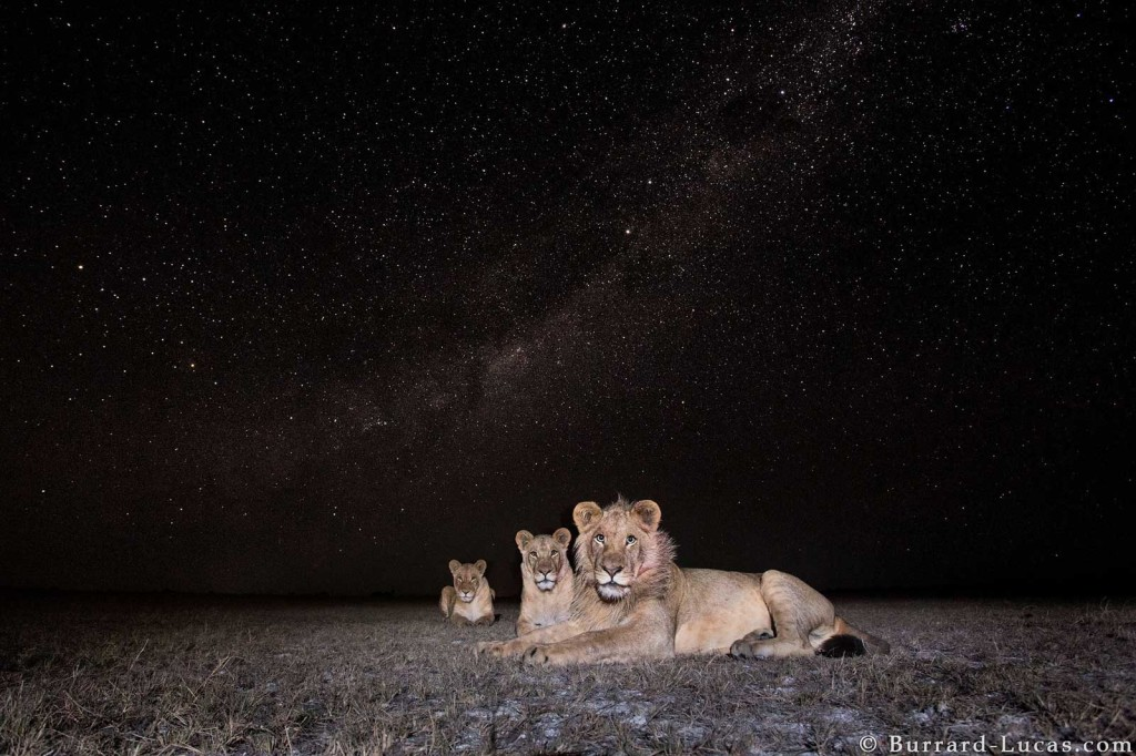Lions under the Milky Way in Liuwa Plain, Zambia. Photographed by Beetle Cam.