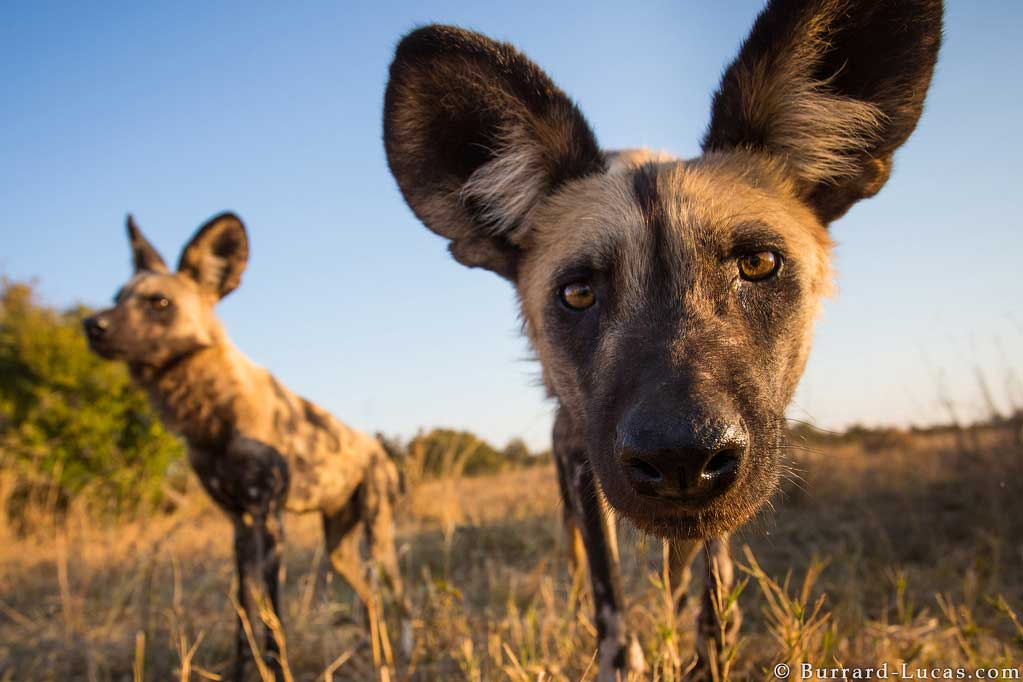 African wild dogs investigate the Beetle Cam in Hwange National Park, Zimbabwe