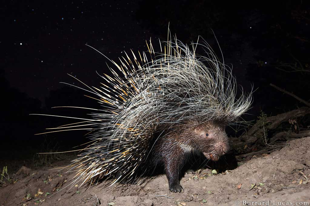A porcupine captured on camera trap carrying a palm nut in South Luangwa, Zambia
