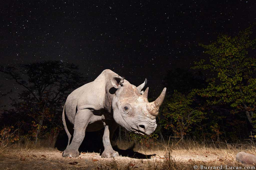 A critically endangered black rhino captured on Camtraptions PIR motion sensor camera trap