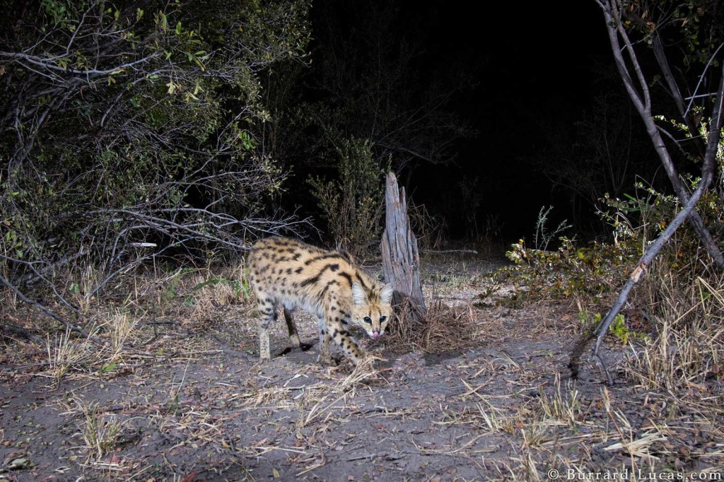 Serval photographed with camera trap in the Zambezi Region of Namibia for World Willdlife Fund