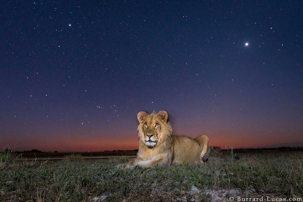 Lion photographed by Beetle Cam at Twilight in Liuwa Plain, Zambia