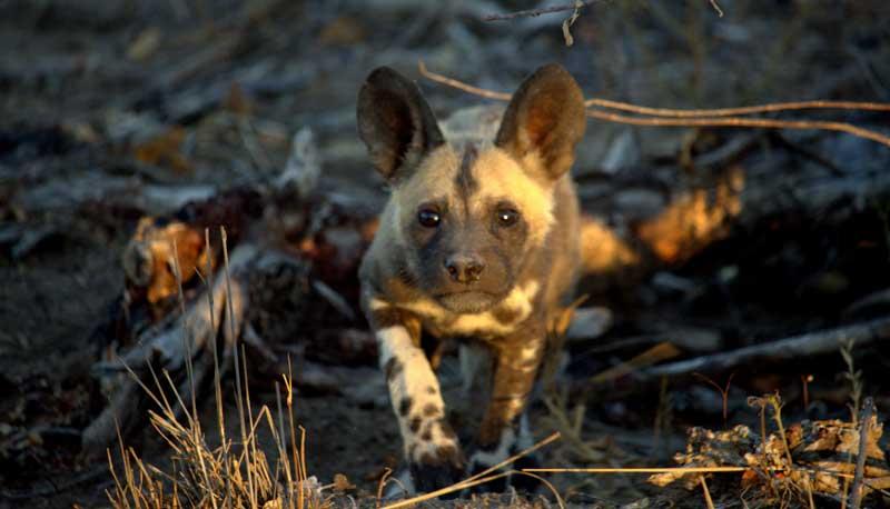 Endangered Animals to Spot While on Safari