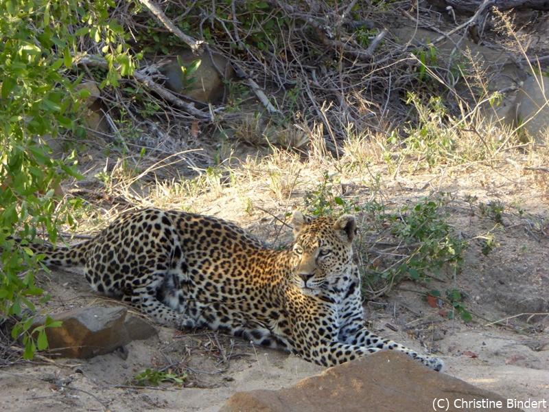 SunSafaris-014-mala-mala-mashatu-safari