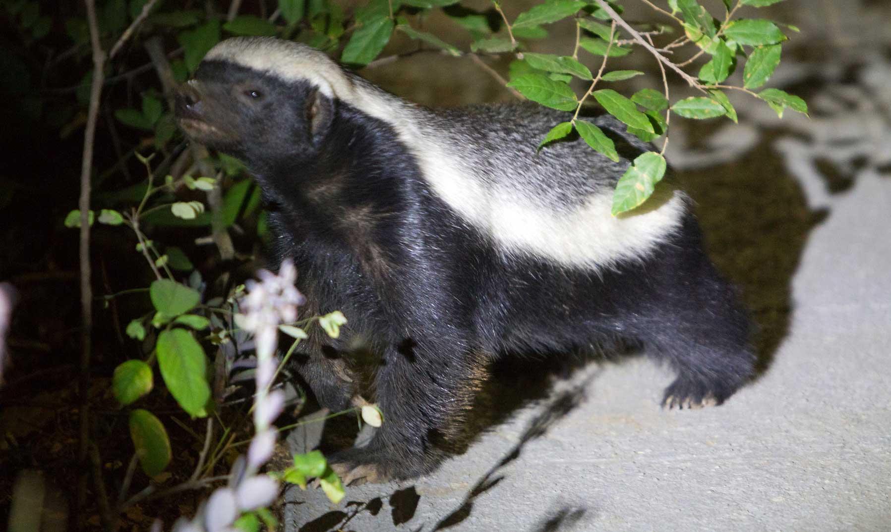 Honey Badgers: 10 Facts About Africa's Cheekiest Species