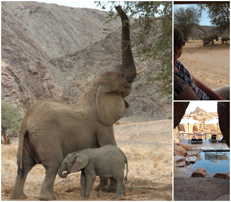 Desert adapted elephants in Dmaraland and Mowani