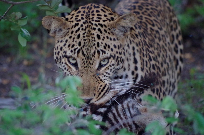 A leopard with a kill