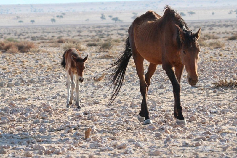 Desert Horse and foal at the Aus region of Namibia
