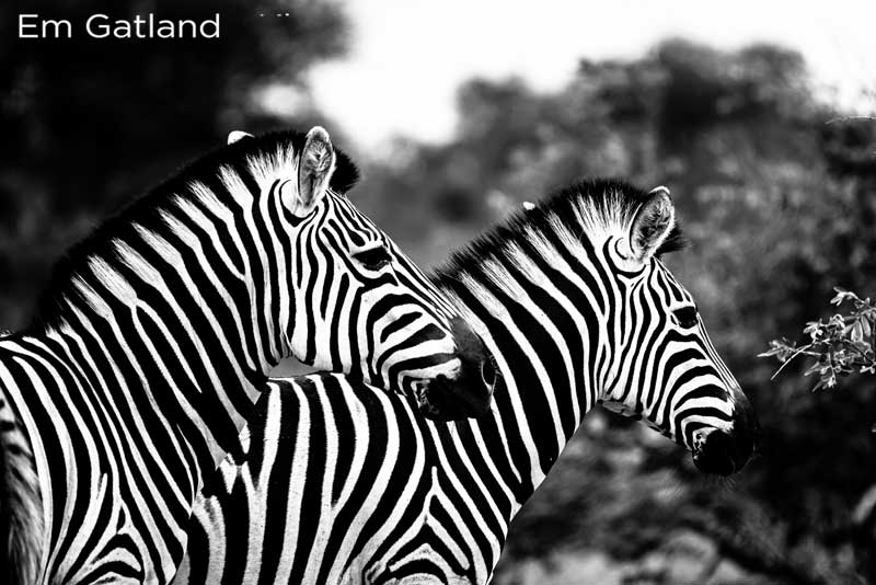 Dazzle of Zebra