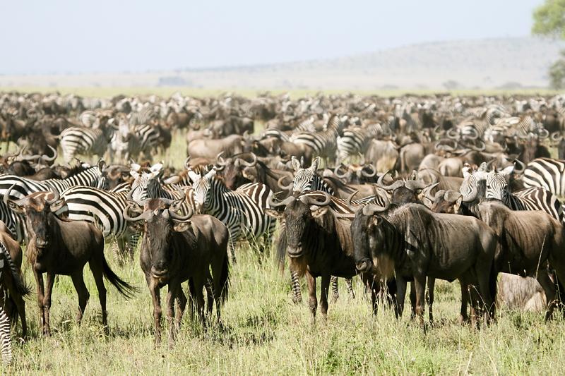 The Lowdown of the Serengeti Migration
