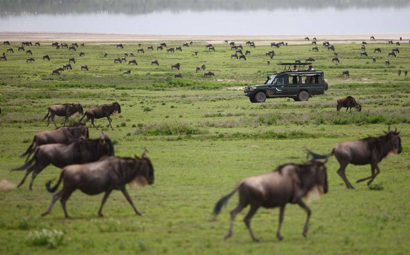 Serengeti Wildebeest Galloping