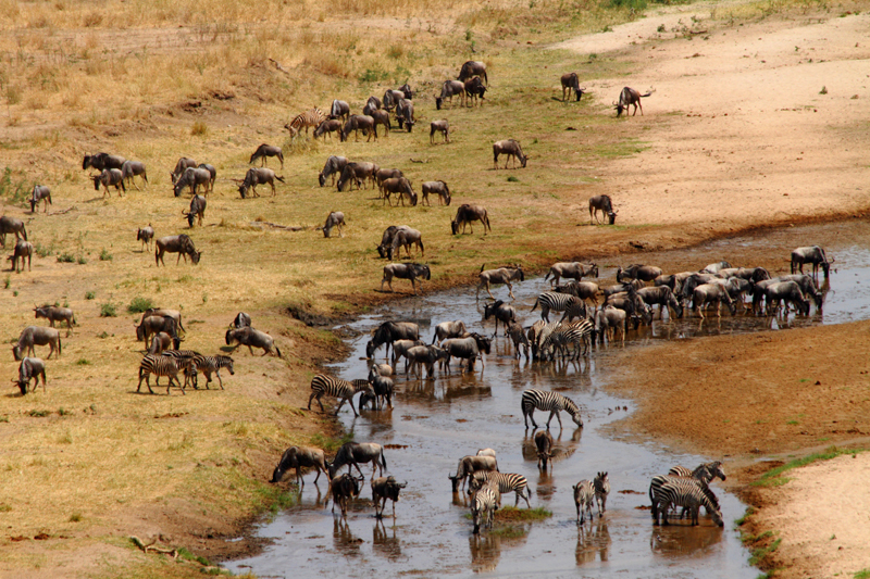 Wildebeest and Zebra Crossing