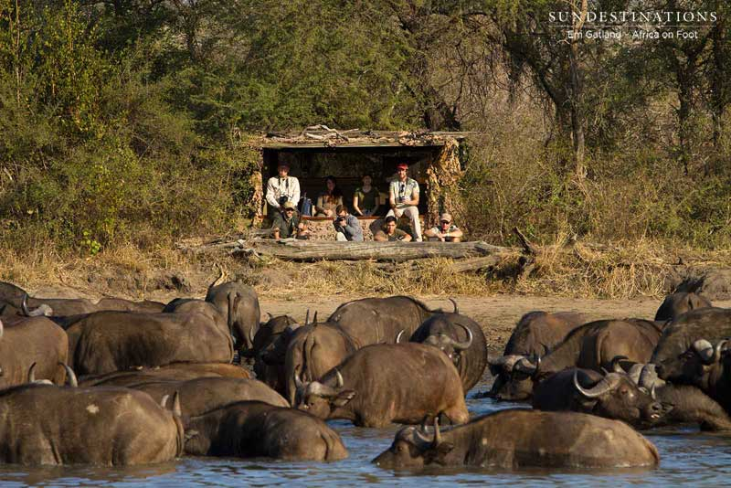 Africa on Foot Observing Buffalo
