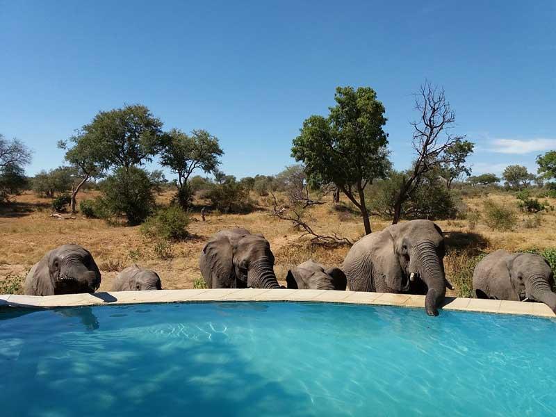 Kambaku Elephants Drinking