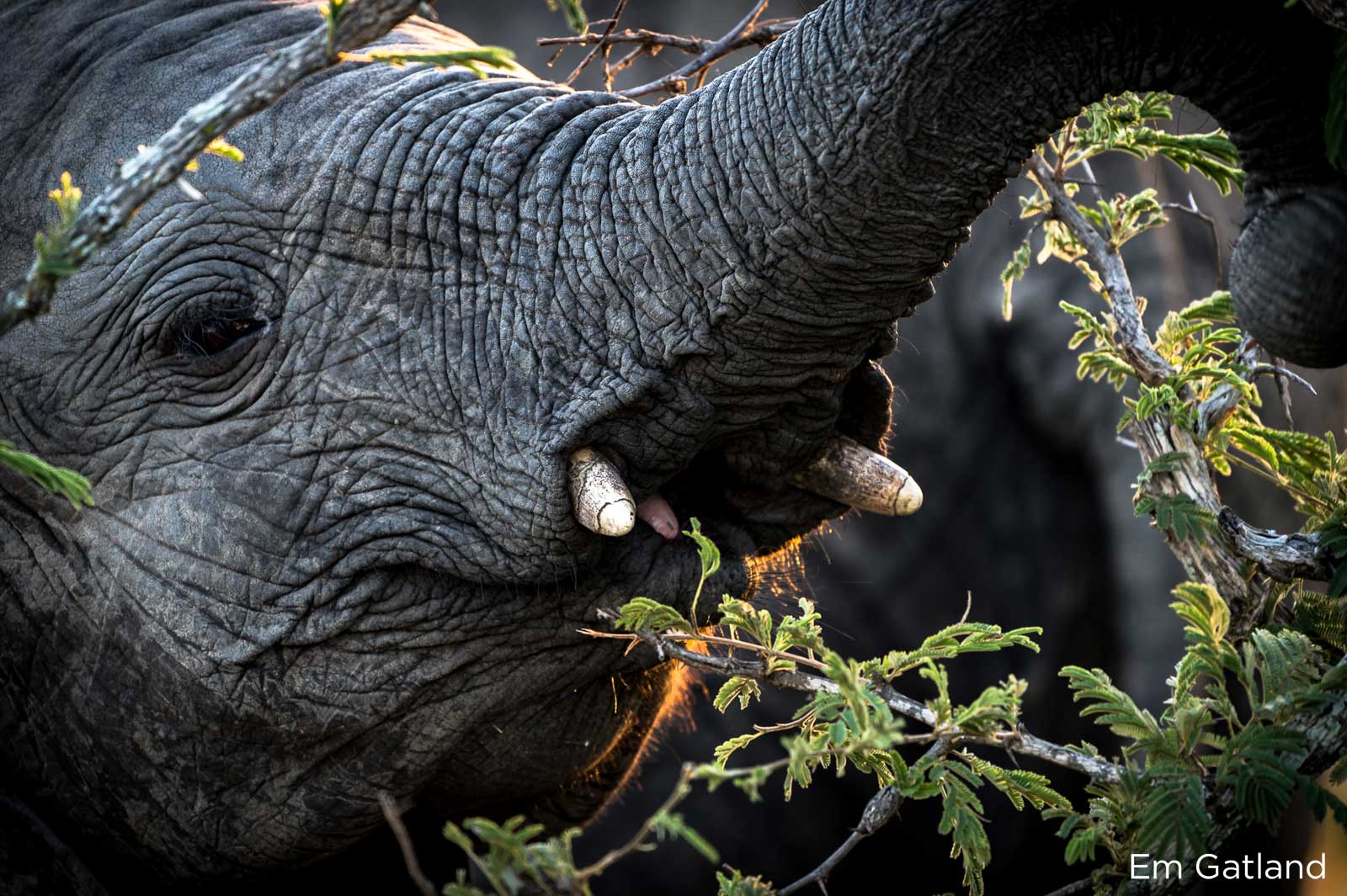 Elephants Translocated, 500 Elephants Translocated in Malawi