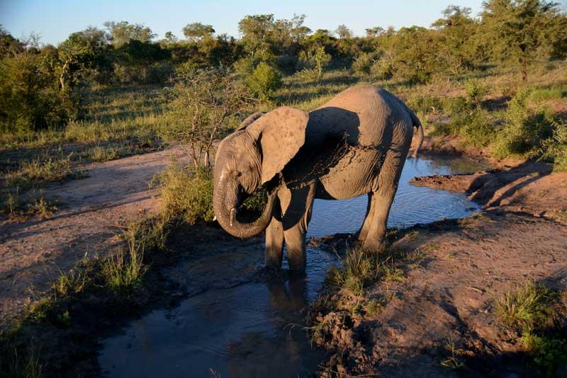 Elephants Kruger
