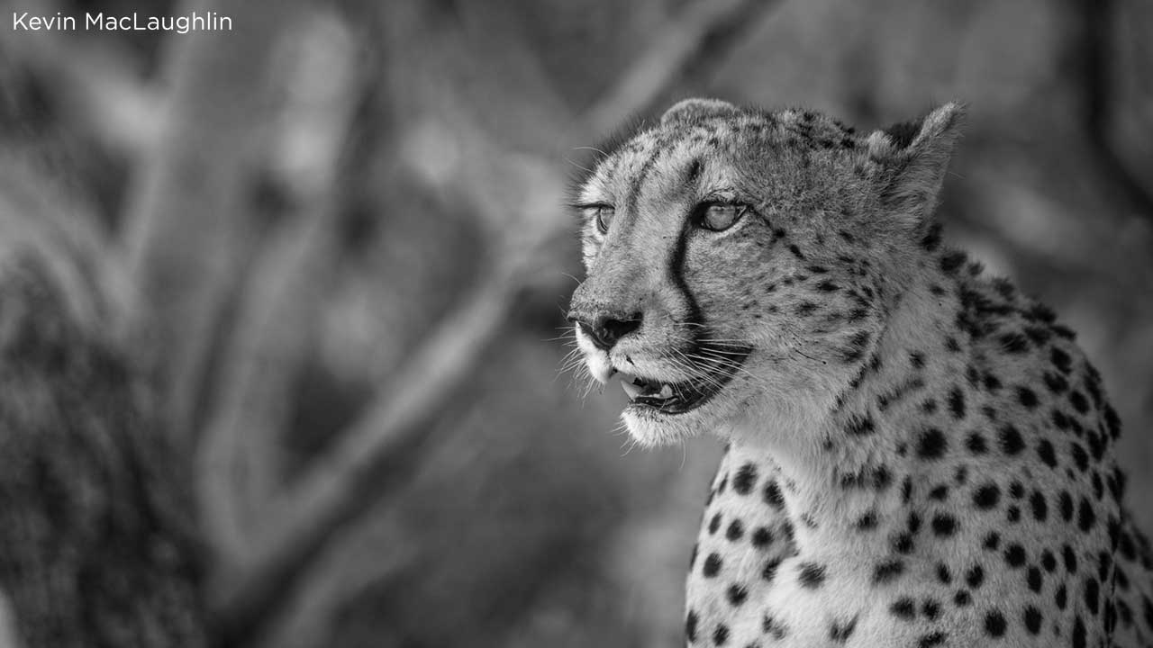 , Cheetahs Released in Malawi After 20-year Absence