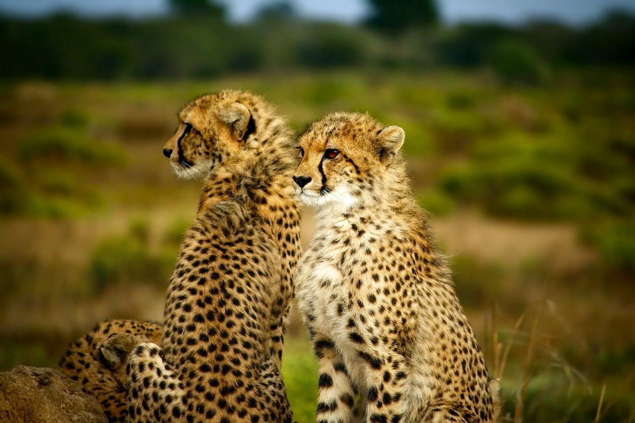 Releasing cheetahs in Liwonde National Park