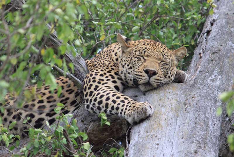 Umkumbe Leopard
