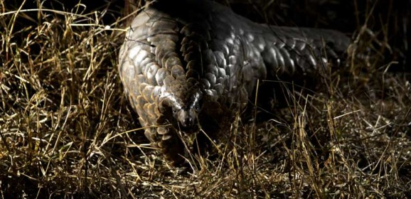 Critically Endangered Pangolin Spotted in Sabi Sand